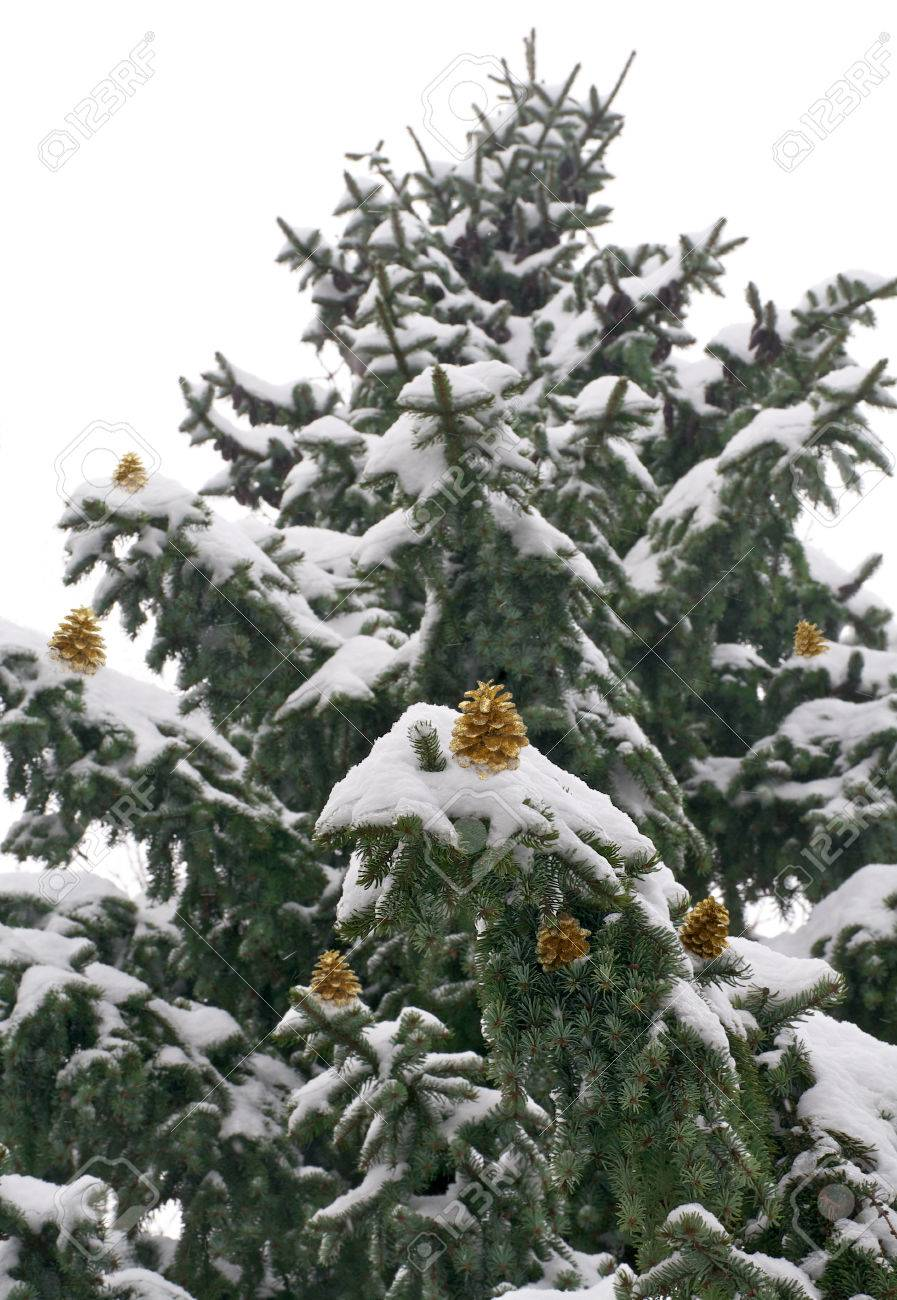snow capped pine tree with golden pine cones stock photo picture