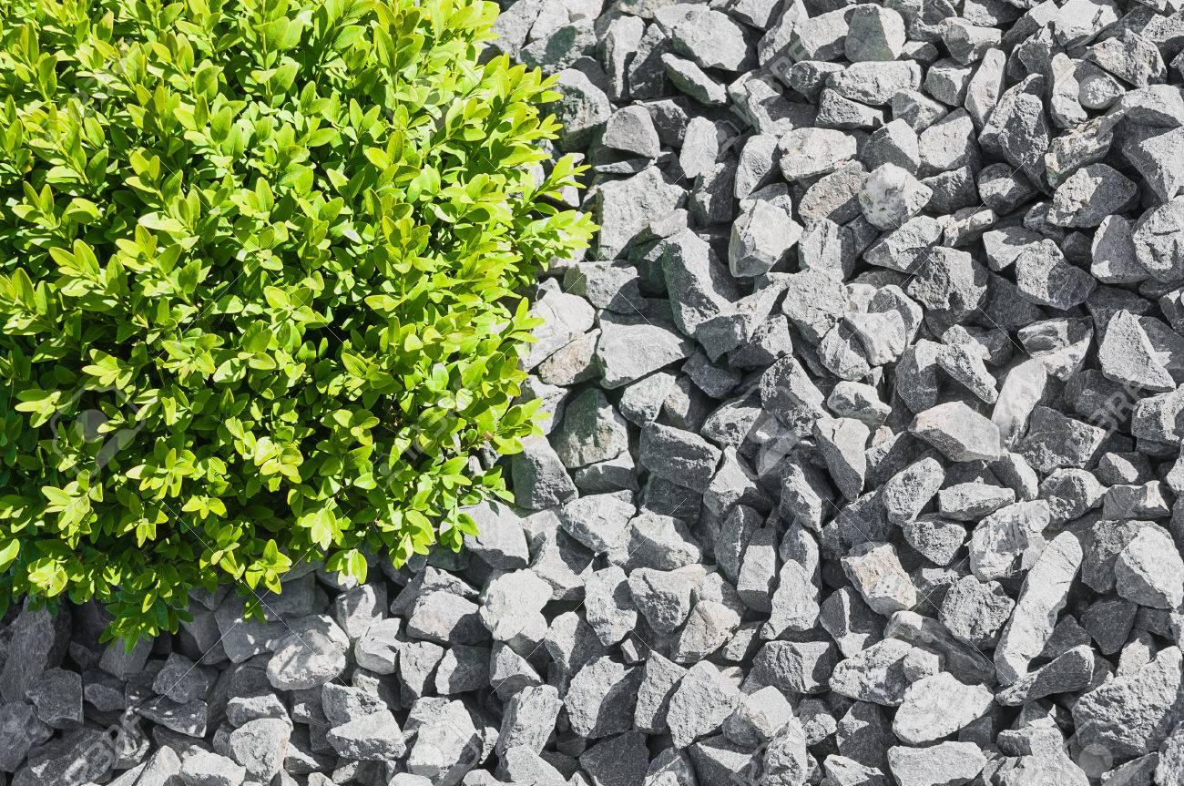 Box arbre balle dans la zone gravillonnée en gros plan de dessus;  aménagement paysager simple; Jardin de gravier