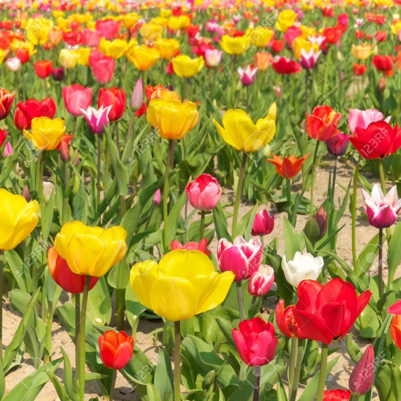 b4d8ebcaefe5 Filas de tulipanes multicolores en flor  el cultivo del tulipán  La  producción de flores