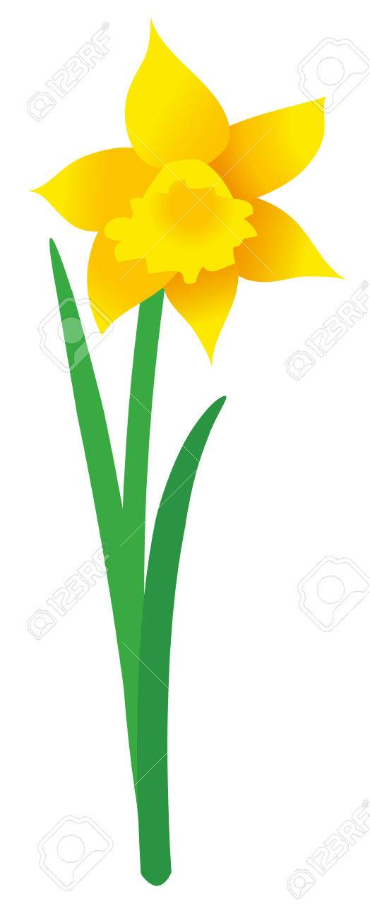 Illustration Of Single Daffodil On White Background Vector Graphic