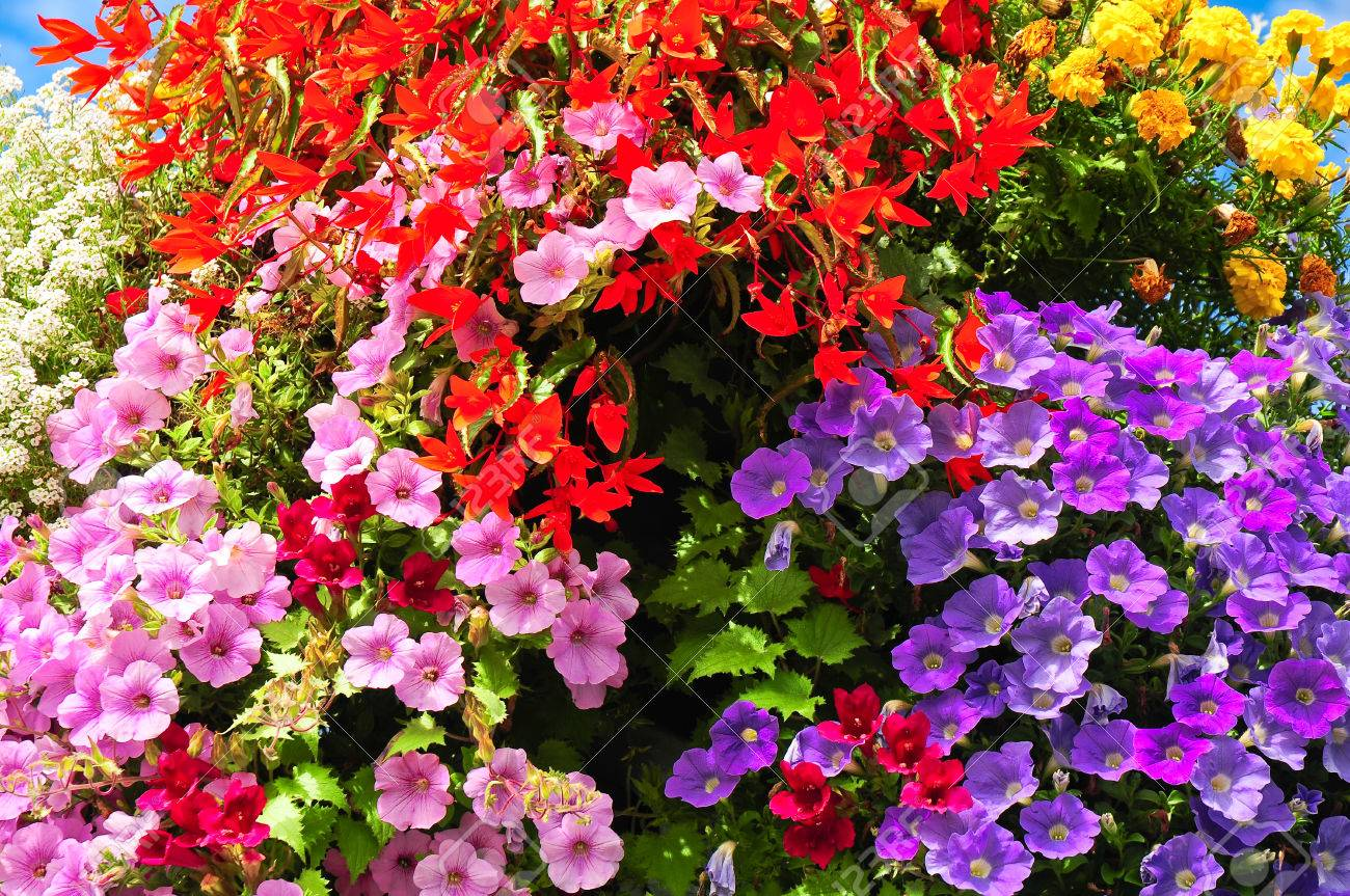 Blooming Balcony Flowers In Different Colors; Pink, Red And Yellow ...