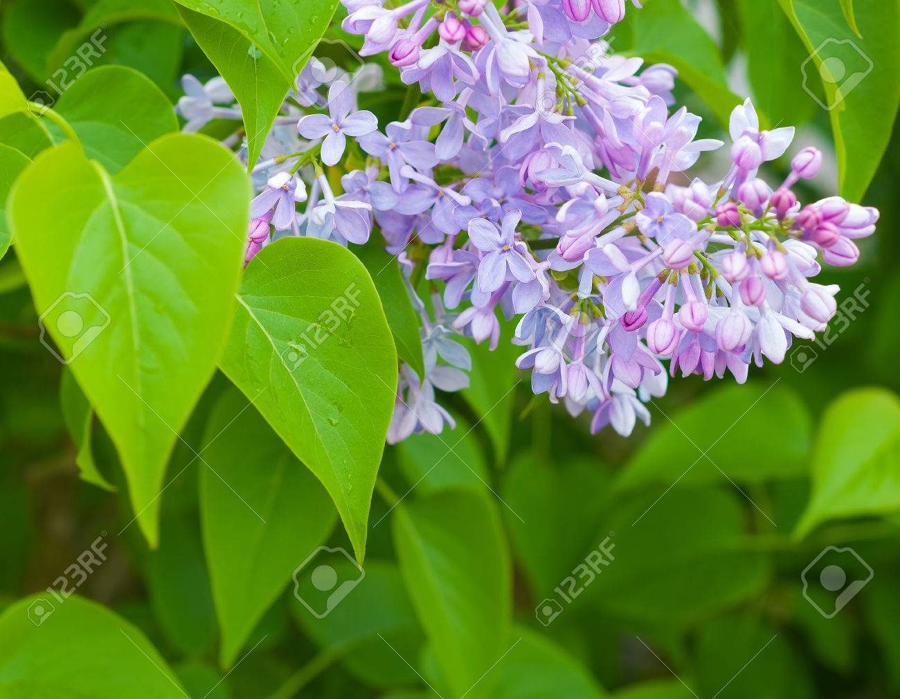 Light Purple Blossoms Of Common Lilac Flowering Ornamental Tree