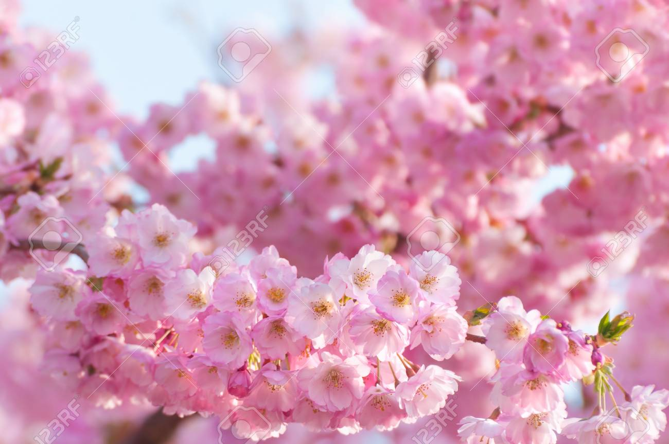 Pink Blossoms Of Ornamental Cherry Tree In Close Up Flowering