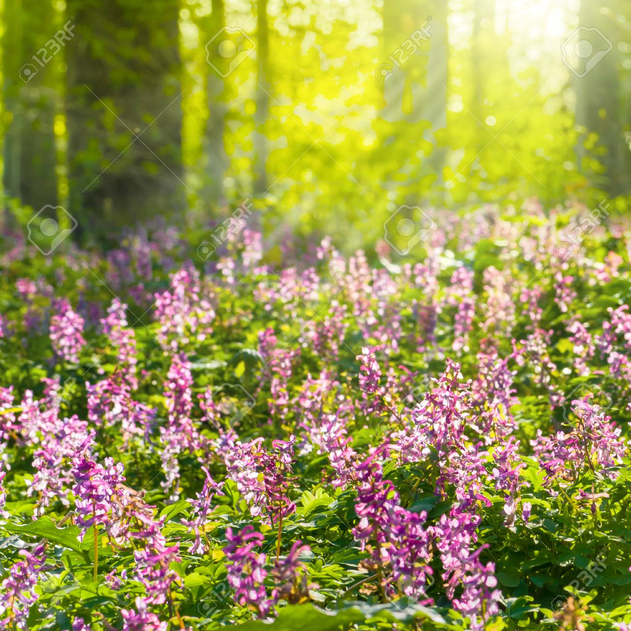 Sunbathed Forest With Flowering Corydalis Plants White And Purple