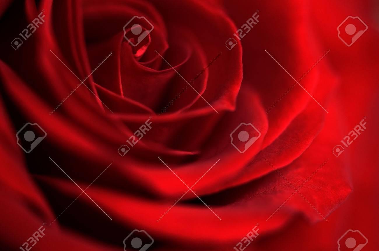 Fleur De Rose Rouge Fonce En Gros Plan Symbole De L Amour Rose