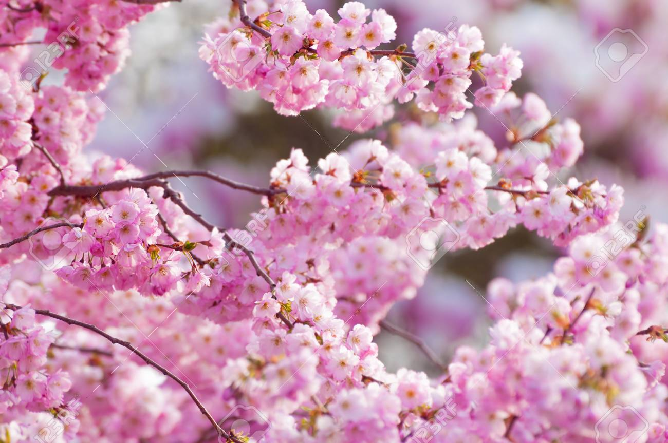 Tender Blossoms Of Ornamental Cherry Tree In Sunshine In Closeup
