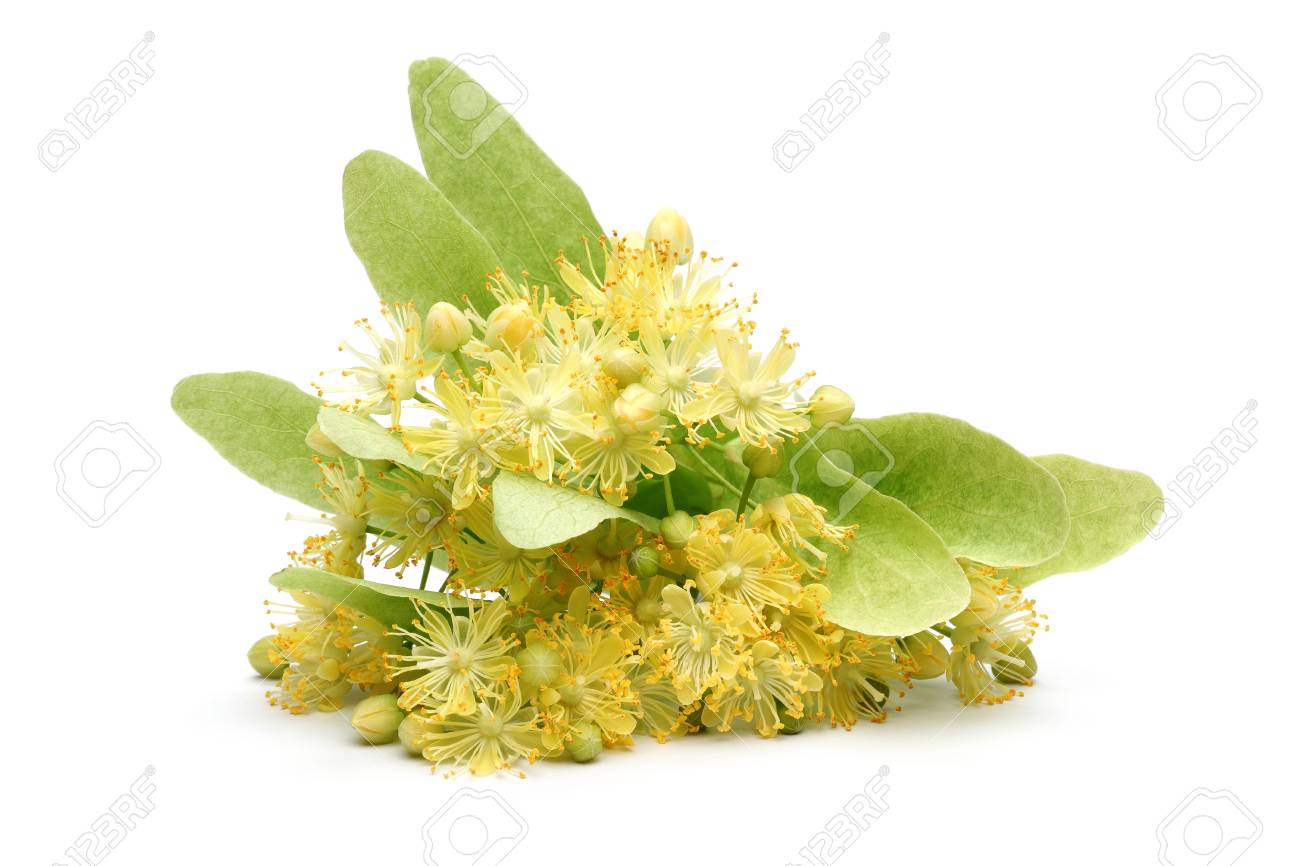 Fresh linden flowers and leaves isolated on white background - 115719563
