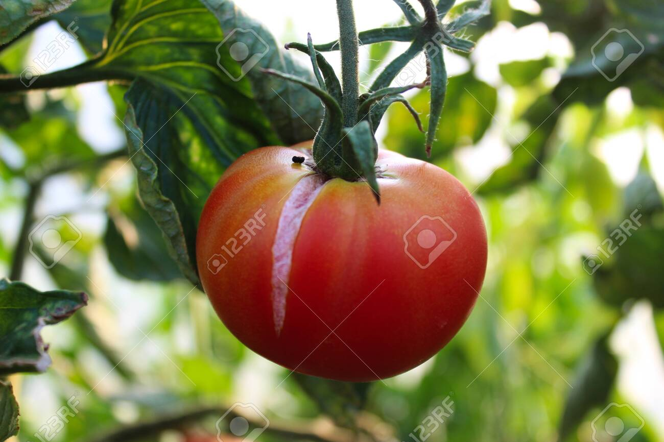 One tomato on a vine in a greenhouse. Growing tomatoes organically in a greenhouse. - 143236402