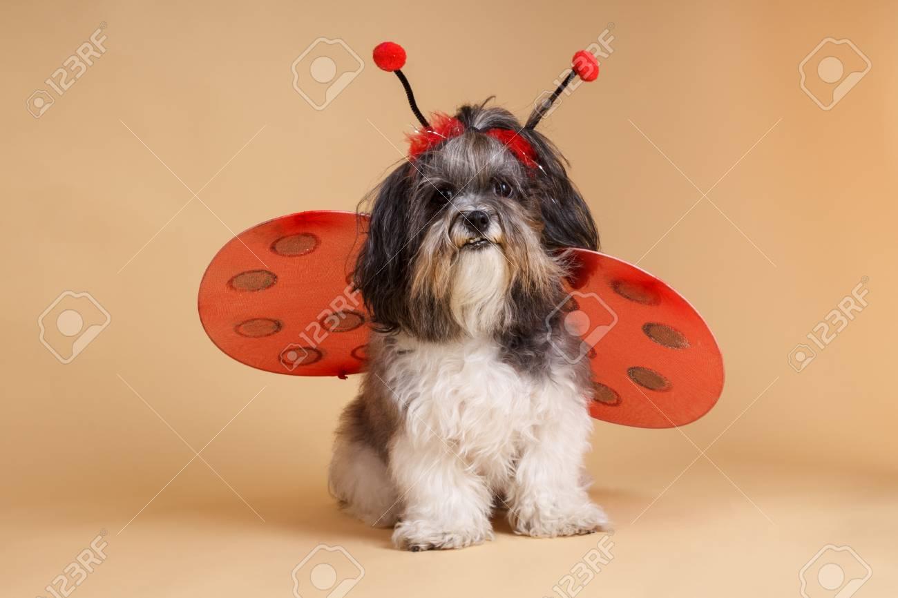 Cute Dog Dressed Up Like A Ladybug For Halloween Studio Shot