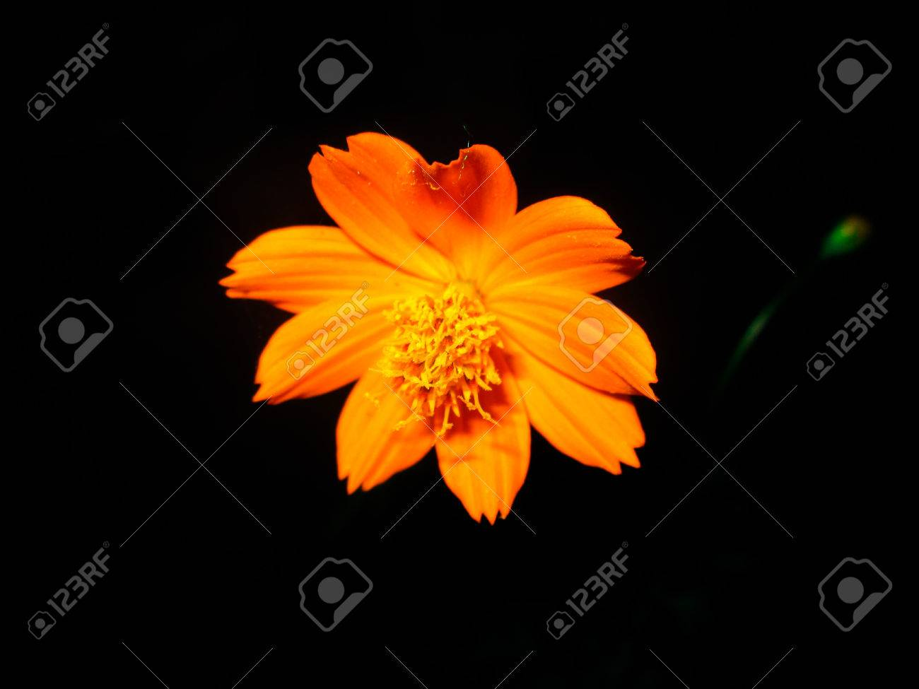 Most Inspiring Wallpaper Night Flower - 84791007-yellow-flower-on-night-dark-night-flawer-wallpaper  Photograph-16443.jpg