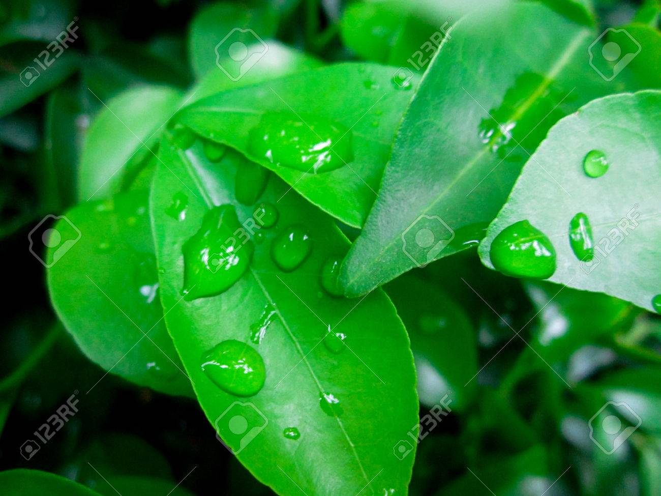 Green Leaf Dew Water Drop Wallpaper Leaves Nature Stock Photo
