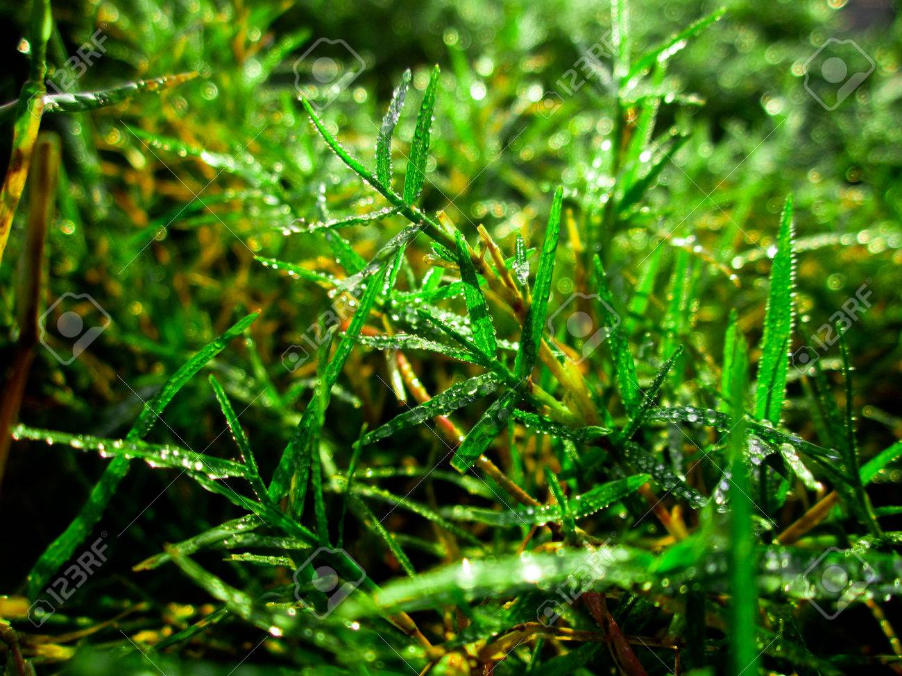 green gress background with morning dew, green gress dew wallpaper