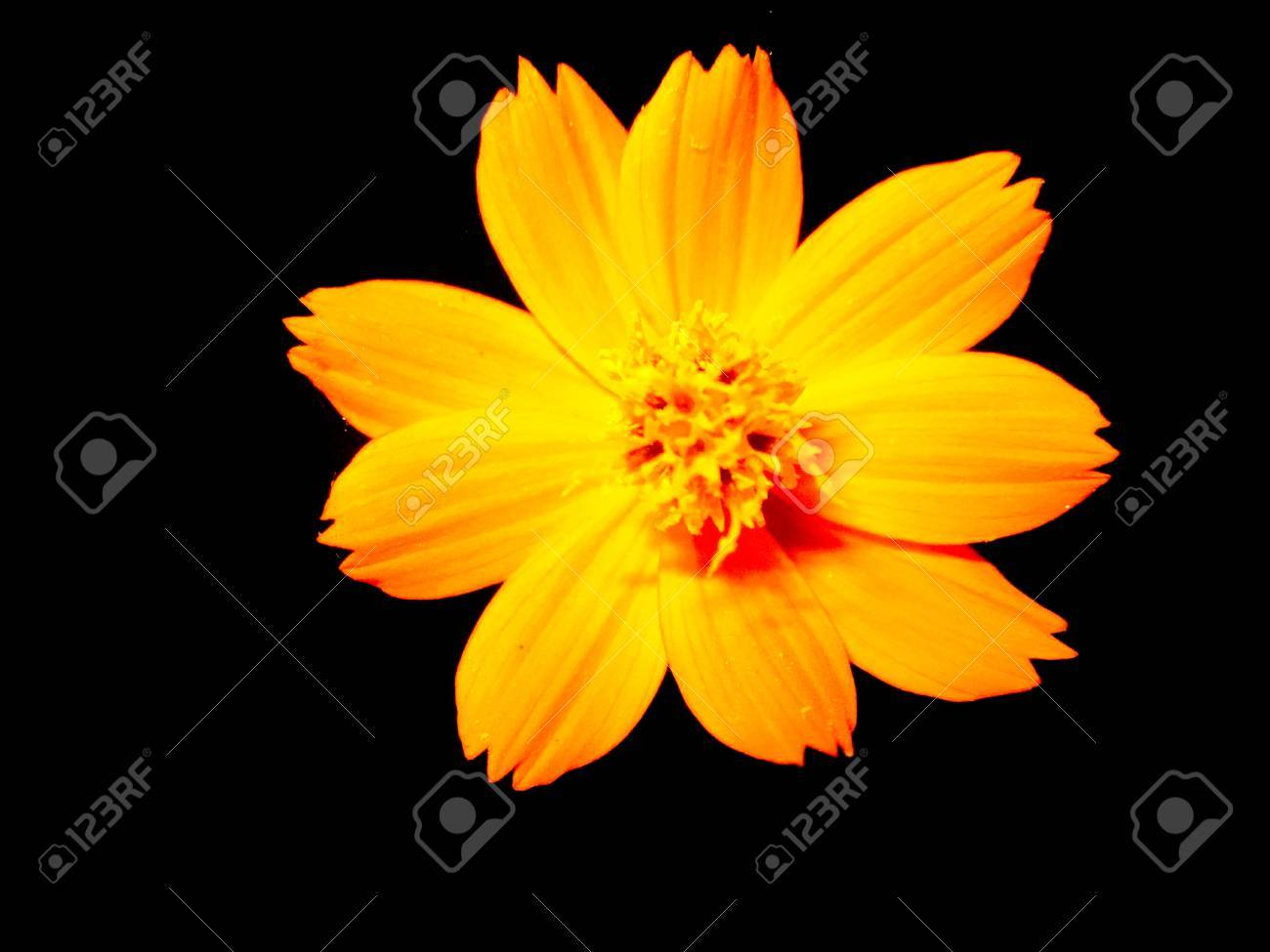 Yellow Flower Flower Wallpaper Black Background