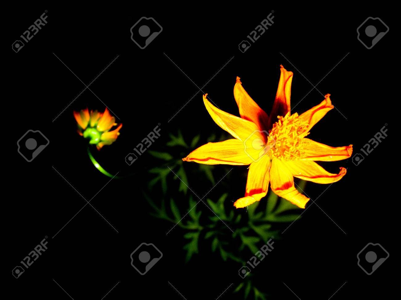 Yellow Flower On Night Black Background Dark Flower Wallpaper