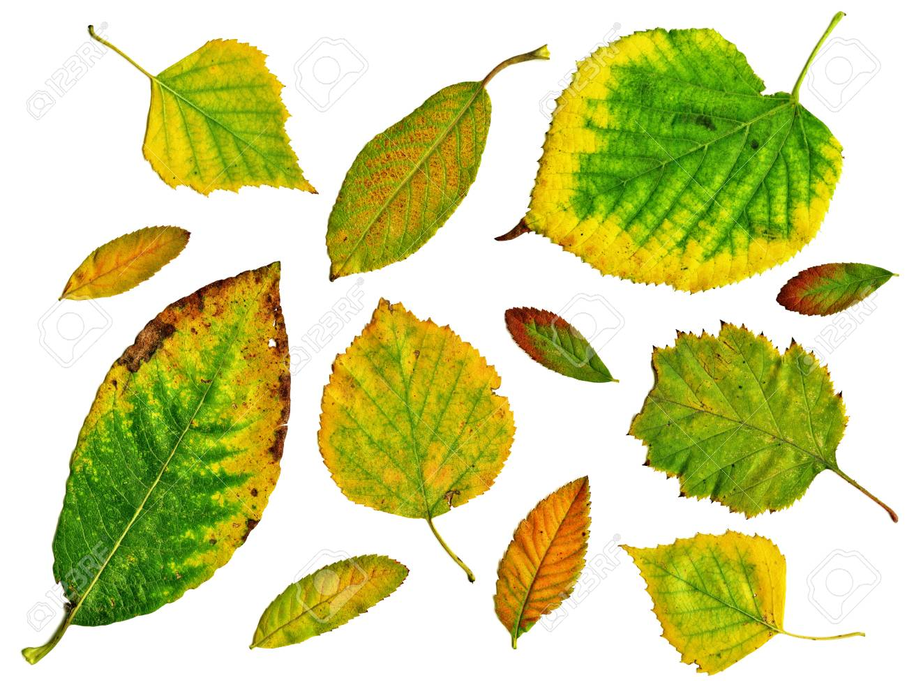 Set of green autumn leaves isolated in white background Stock Photo - 19055555