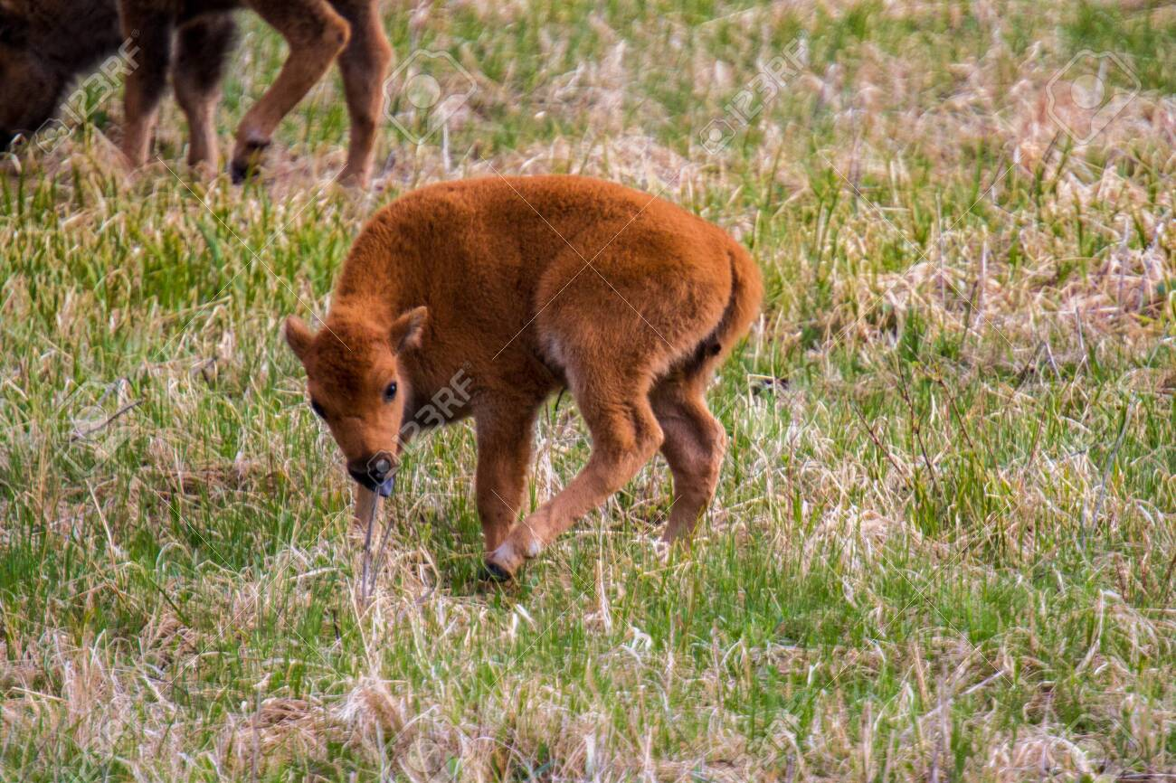Baby American Buffalo In Yellowstone National Park
