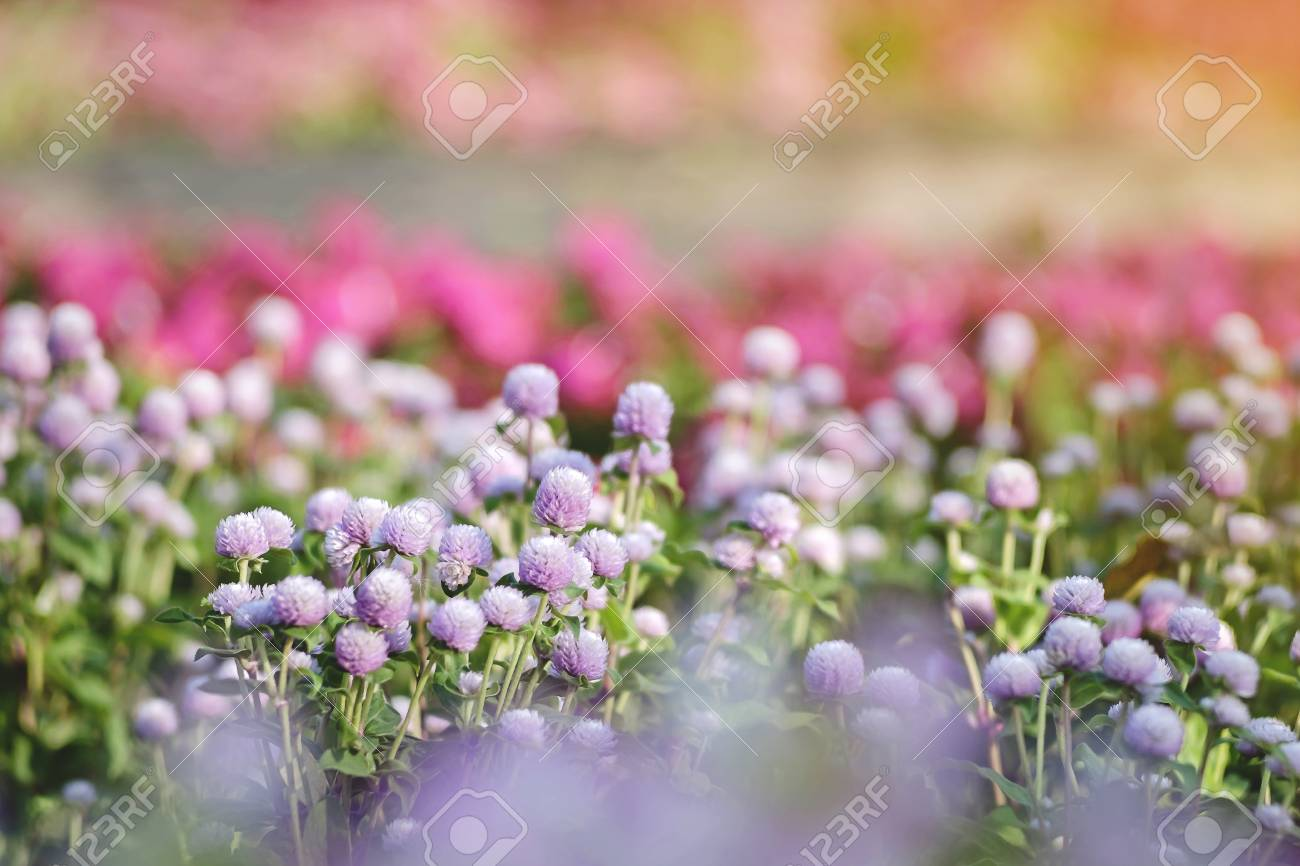 Soft Focused On Pink Flowers Bloom On Abstract Blurred Background