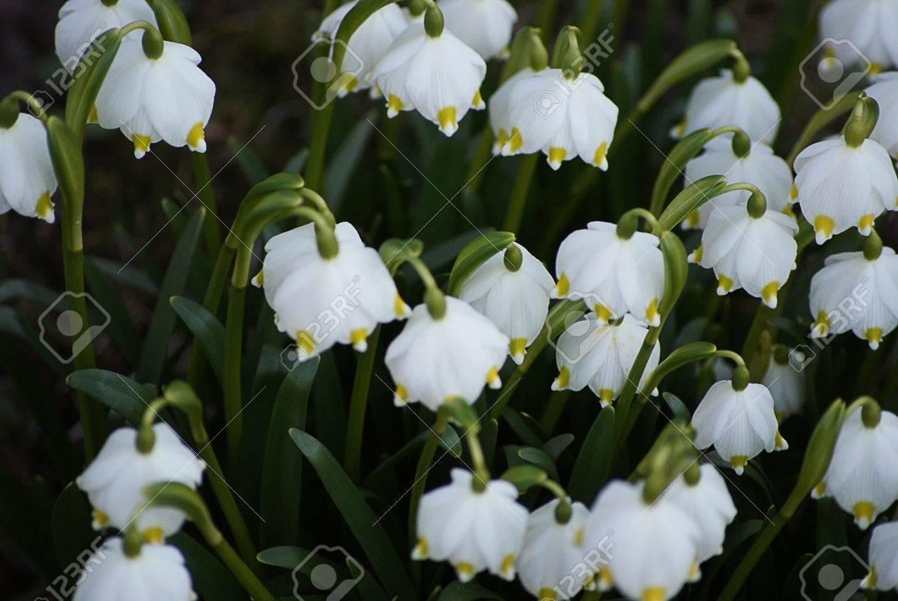 Nice White Bell Flowers Royalty Free Fotografie A Reklamn