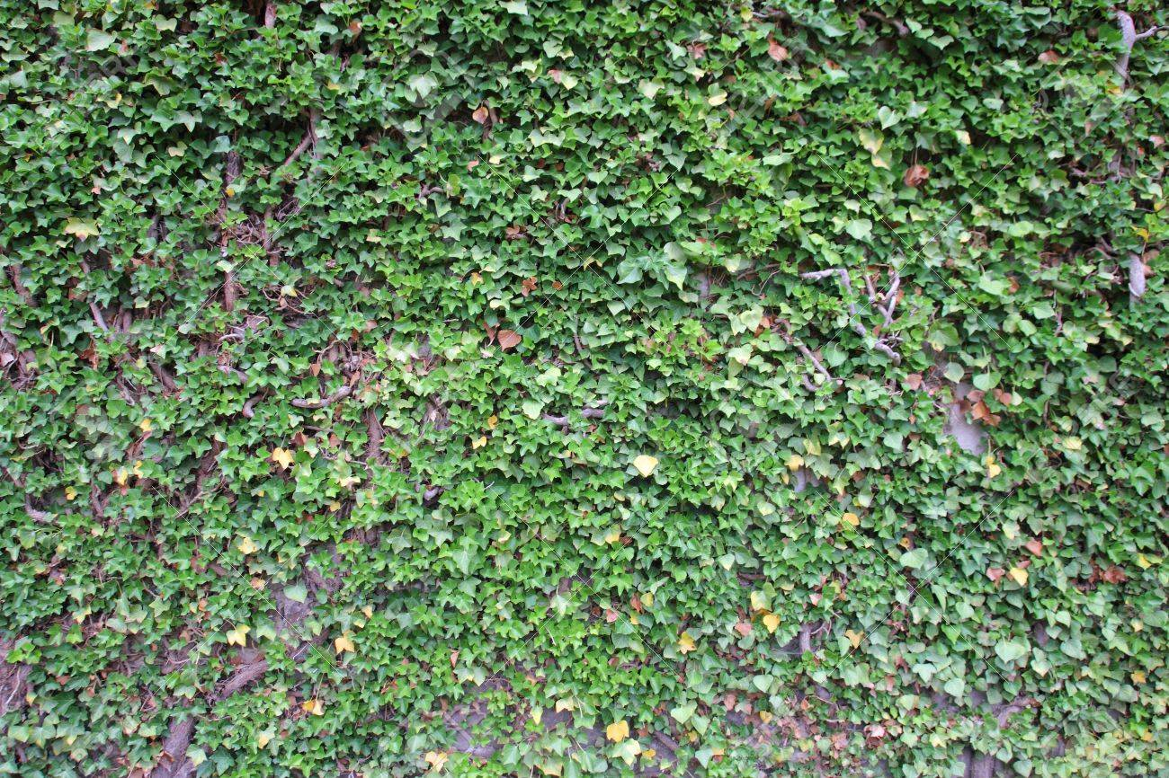green ivy growing up the wall Stock Photo - 10035953