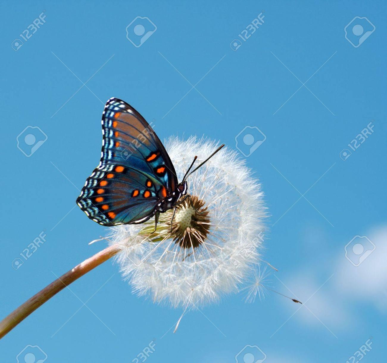 Butterfly on a dandelion - 6988079