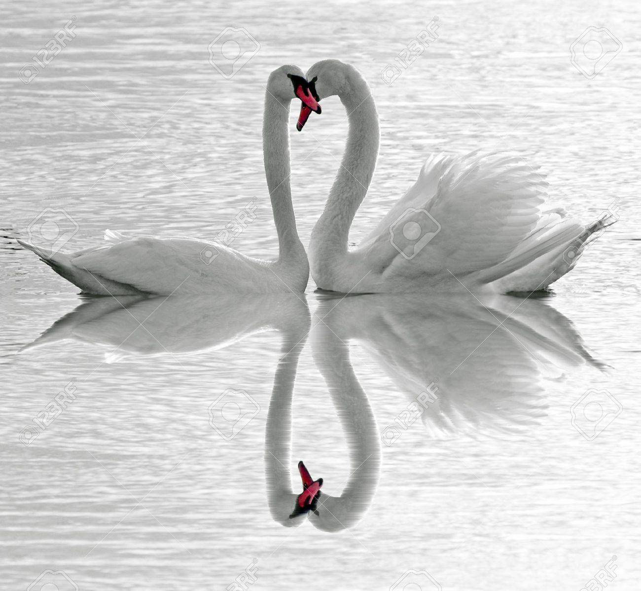 Swans love Stock Photo - 8162347
