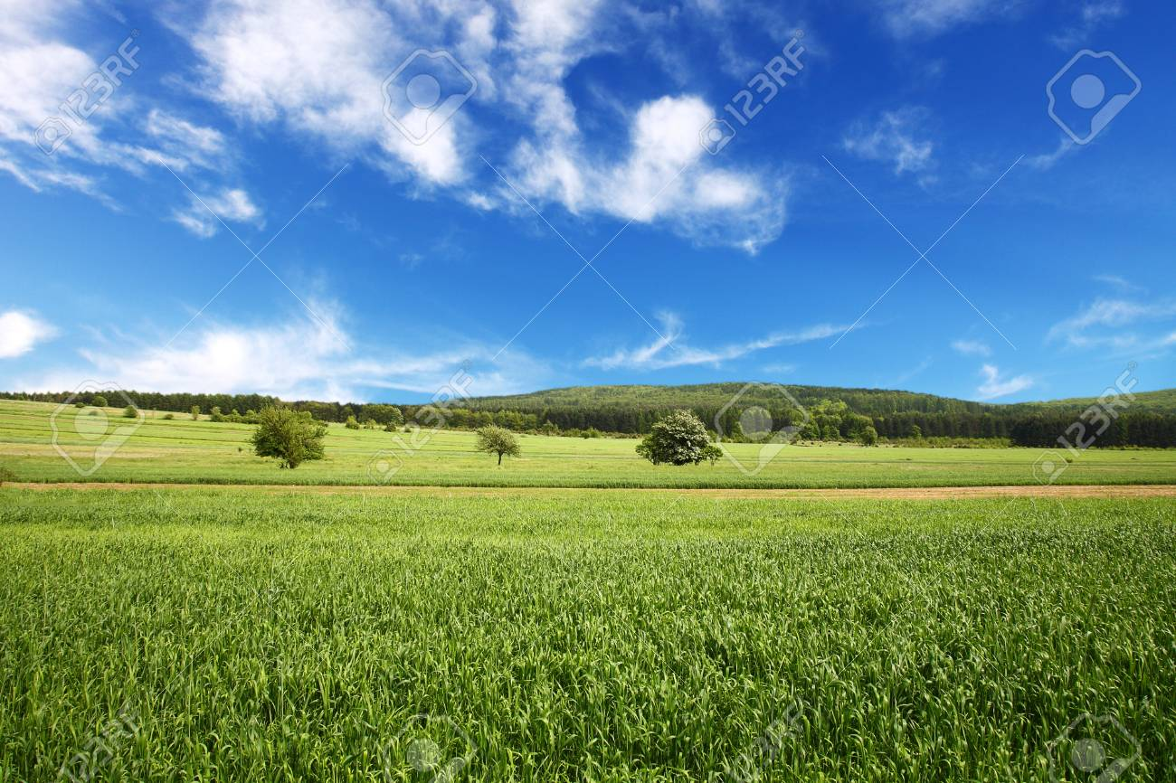 Field of wheat and perfect blue sky Stock Photo - 8383290