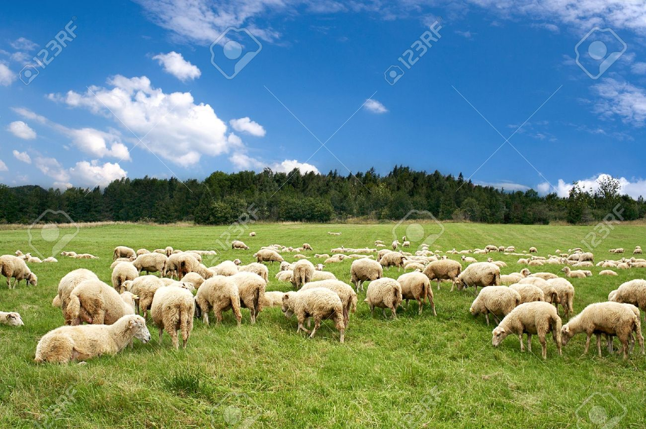 A lot sheep on the beautiful green meadow - 8971614