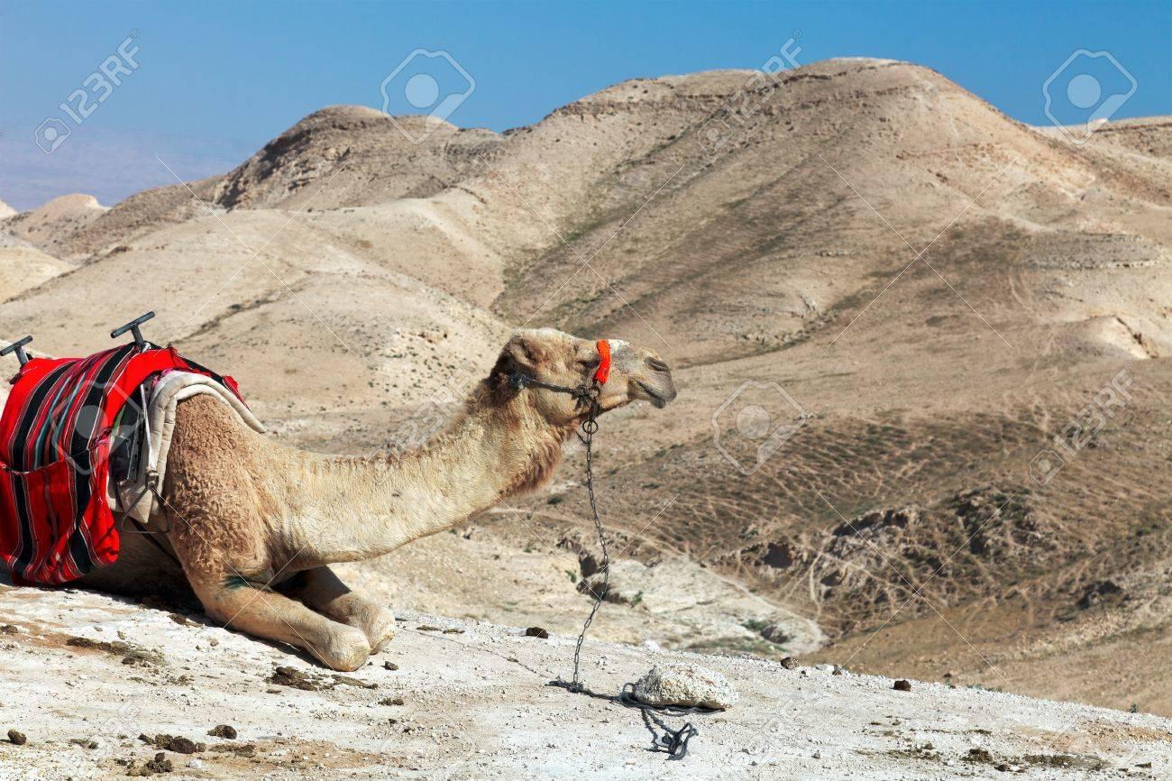 Dromedary camel at an Judean desert Stock Photo - 14330486