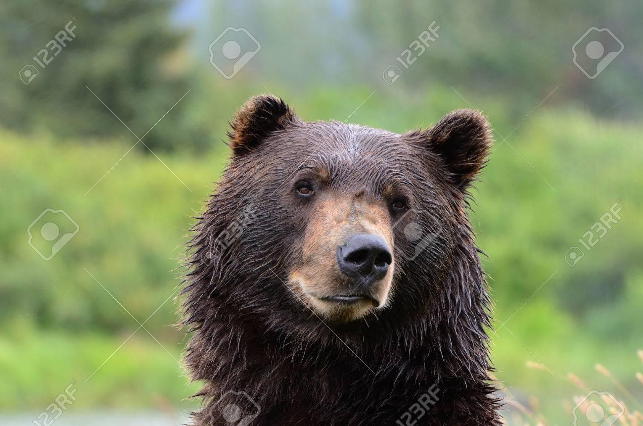 Image D Ours Brun gros coup de tête d'ours brun grizzly en alaska banque d'images et