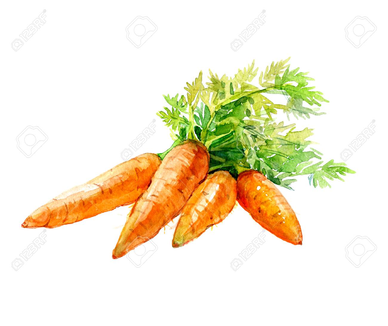 Watercolor Bunch Of Carrots Isolated On A White Background Illustration Stock Photo Picture And Royalty Free Image Image 69696410 Descargue este archivo zanahoria, zanahoria, dibujo de zanahoria, vegetal creativo png o psd de forma gratuita. watercolor bunch of carrots isolated on a white background illustration