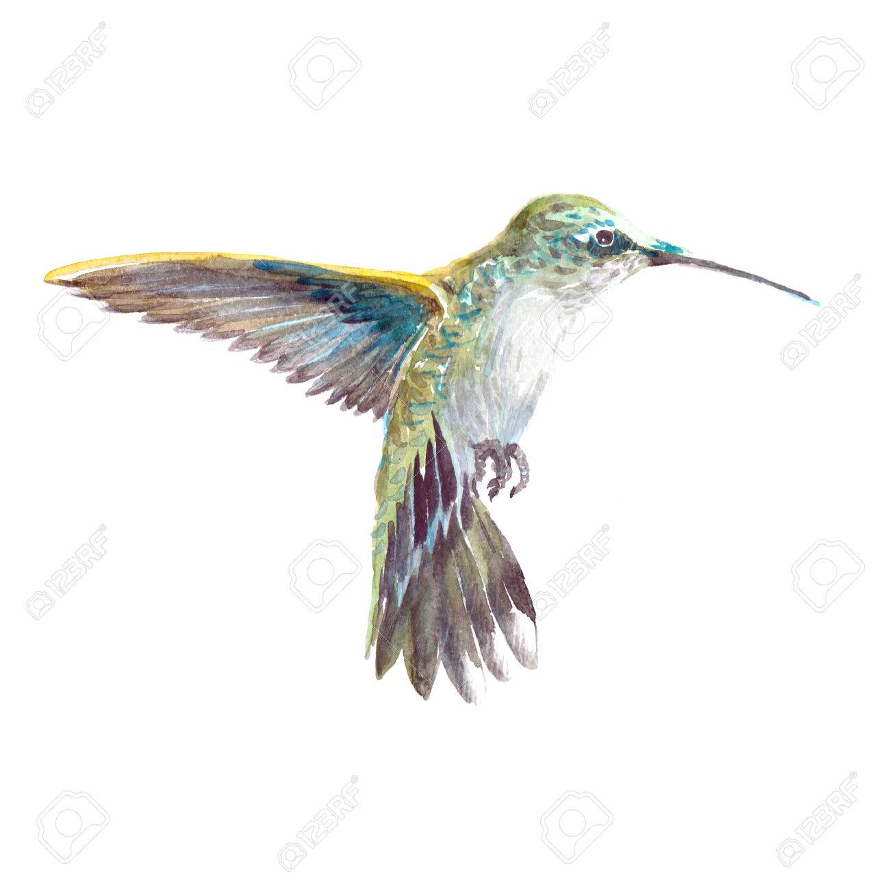 Aquarelle Colibri Realiste Colibri Animal Oiseau Tropical Isole Sur