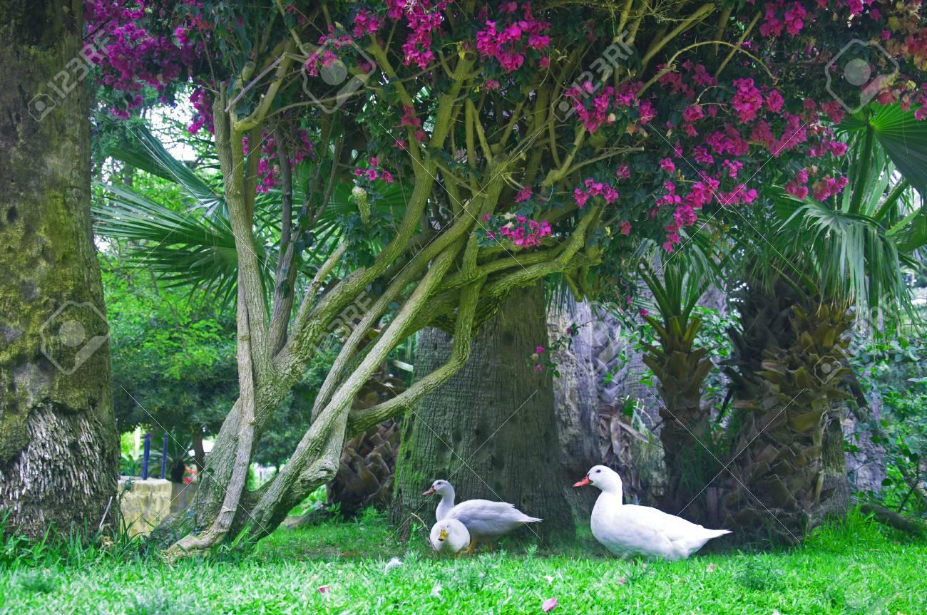 Three White Ducks Under The Tree With Purple Flowerssummer Stock