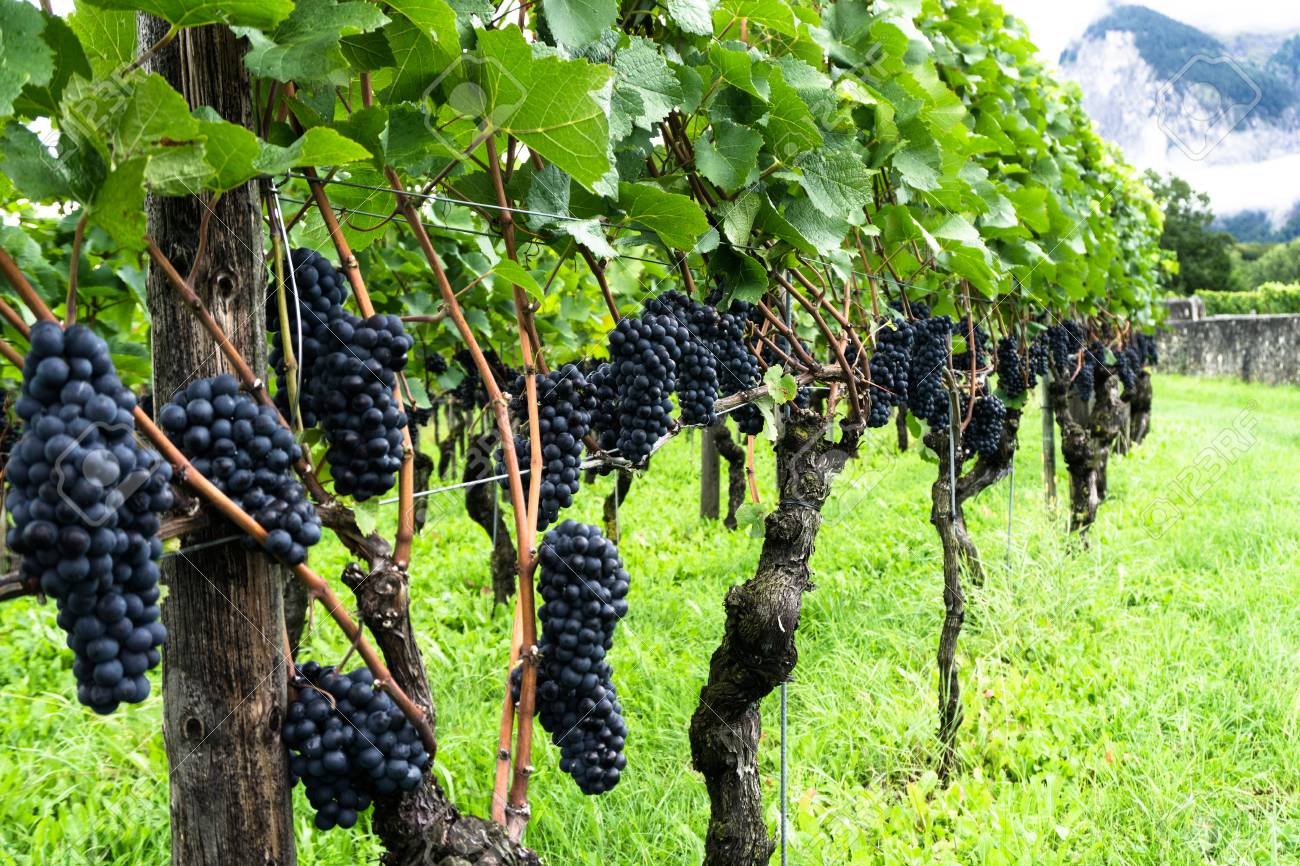 Ripe Pinot Noir Grapes Ready For Harvesting Stock Photo, Picture And  Royalty Free Image. Image 91748609.