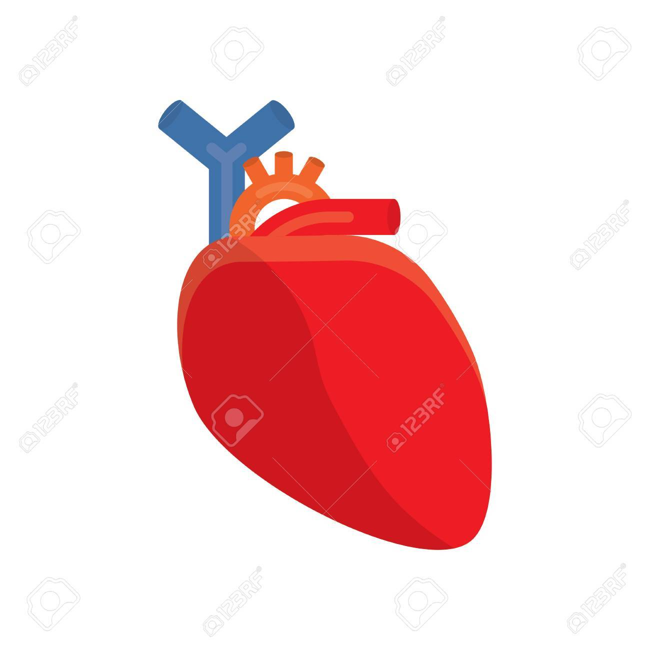 cardiology human heart vector illustration on a white background rh 123rf com human heart vector illustration human heart vector illustration