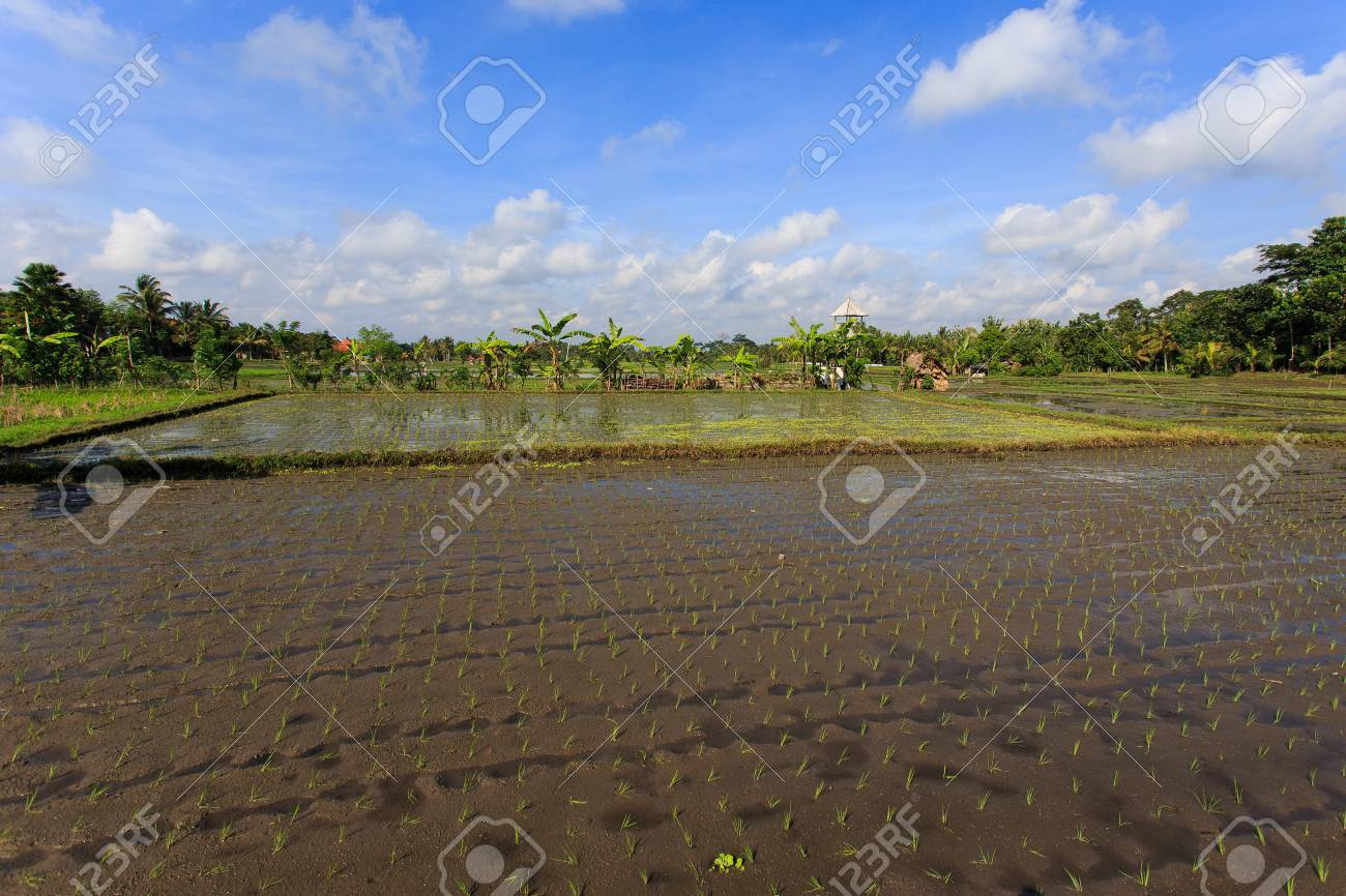 Ricefield - 39387449