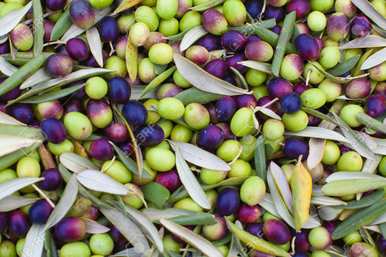Pile of freshly picked olives. Background olives - 48359482