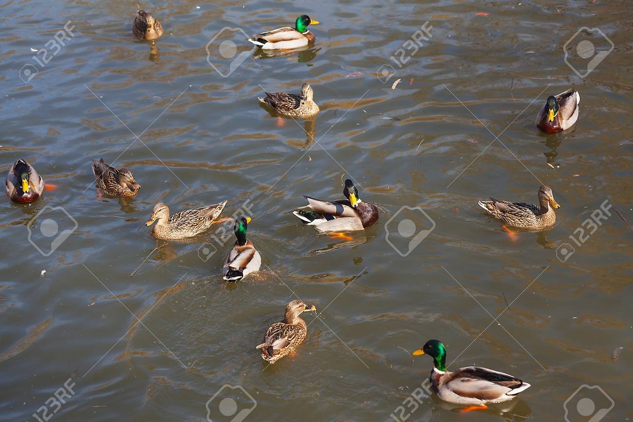 Wild ducks on the water close-up. Beautiful background. - 89710590