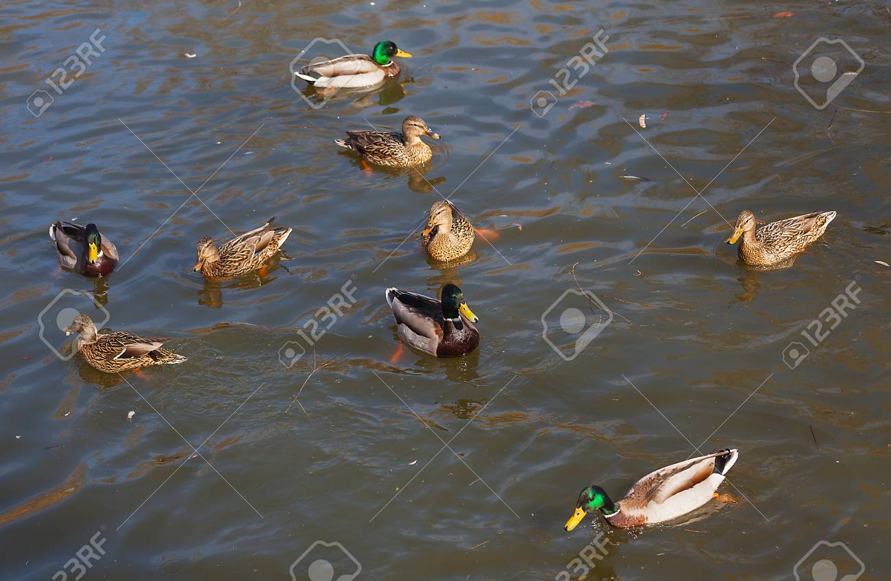 Wild ducks on the water close-up. Beautiful background. - 89710588
