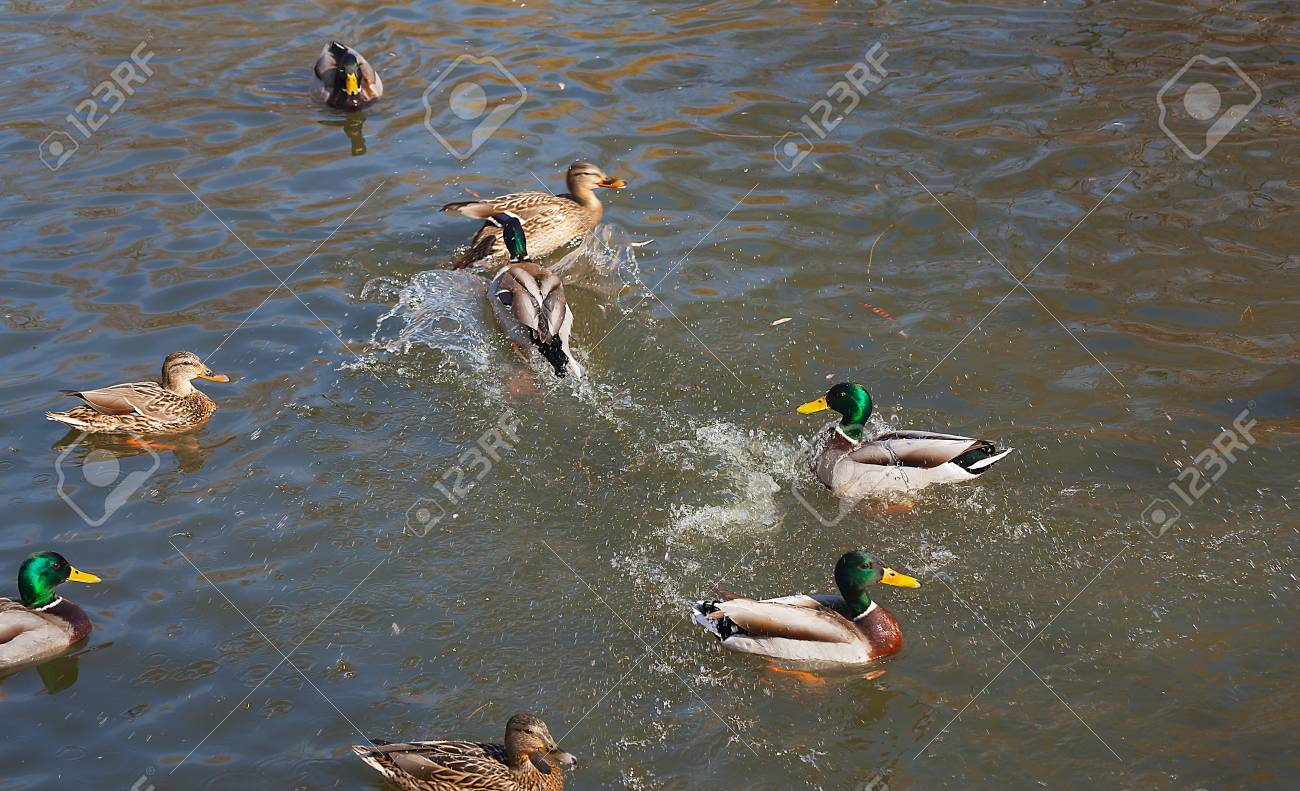Wild ducks on the water close-up. Beautiful background. - 89781183