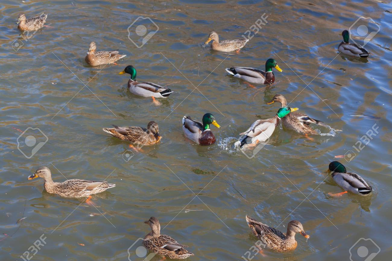 Wild ducks on the water close-up. Beautiful background. - 89939483
