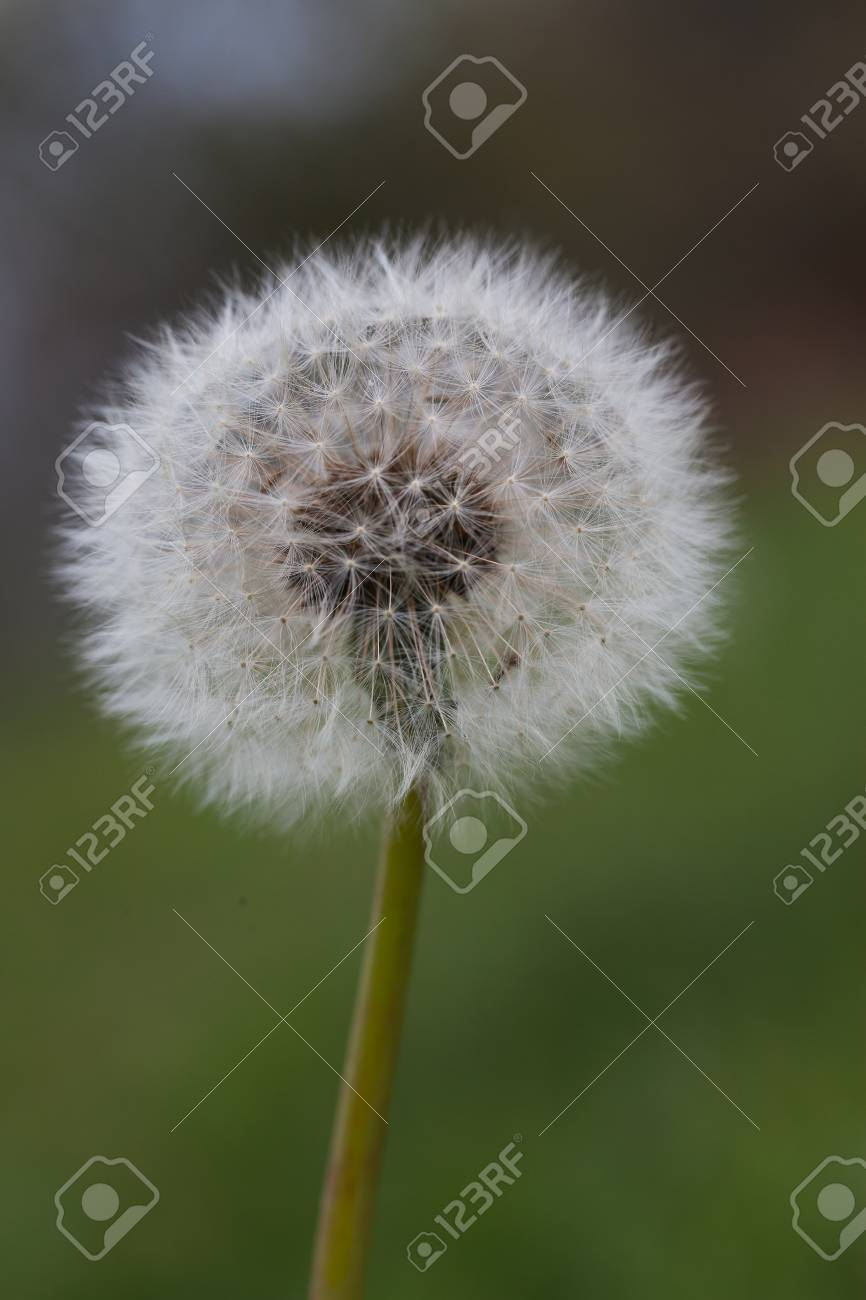 Seeds of dandelion close-up on a green background. - 91301458