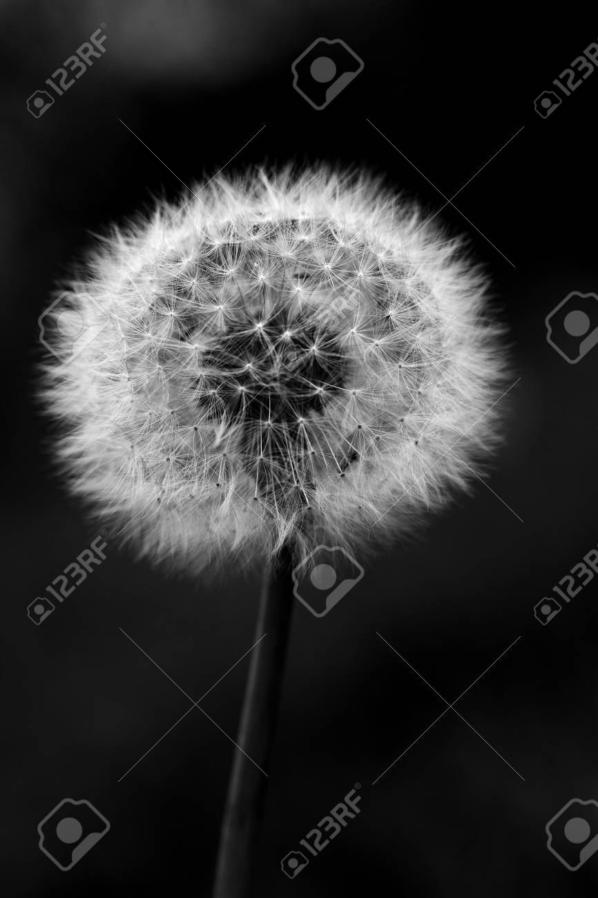 Seeds of dandelion close-up on a green background. - 91336302