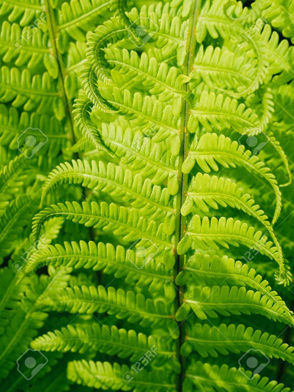 Fern Plants Stock Photo Picture And Royalty Free Image Image