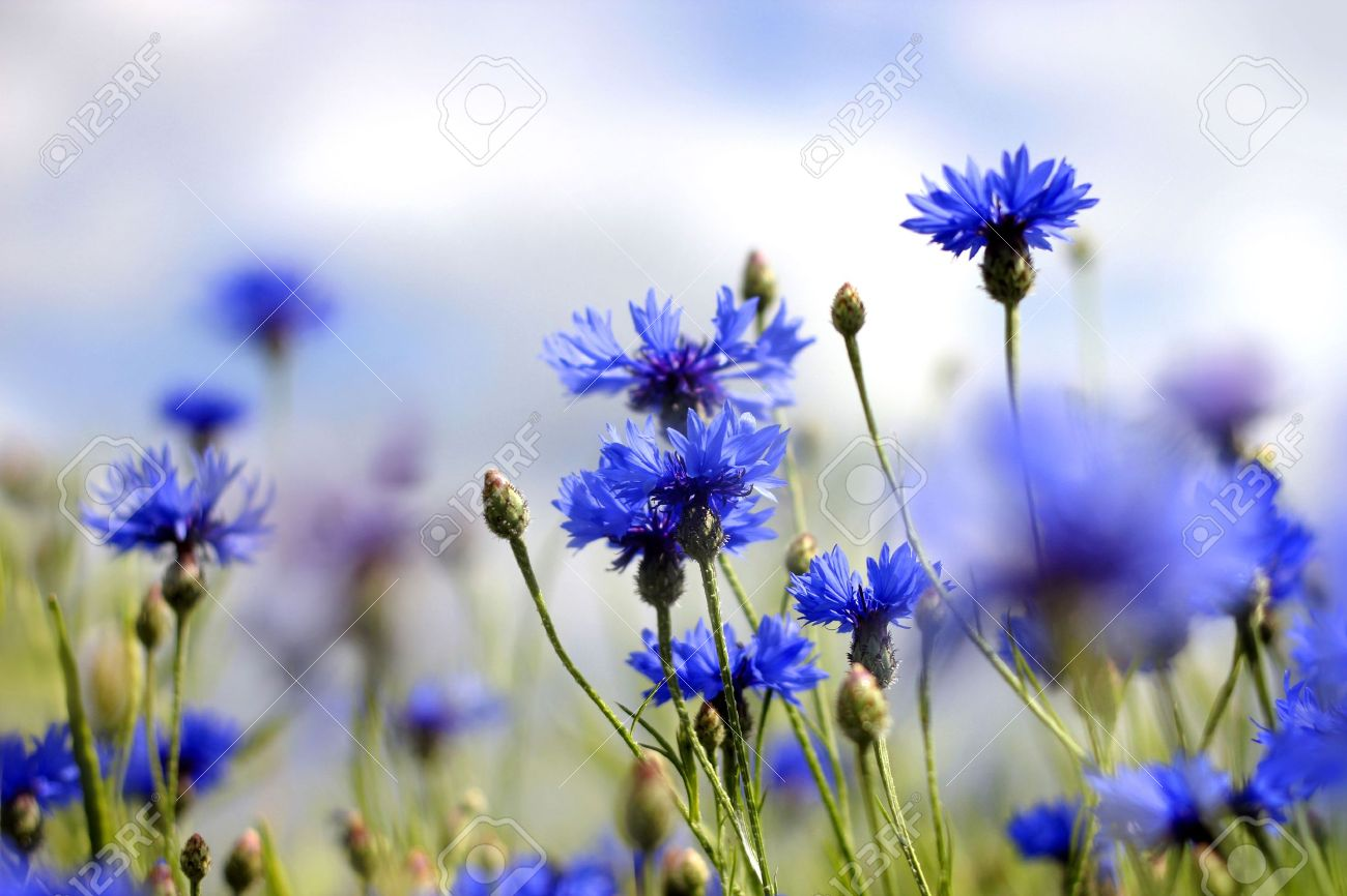 Blooming Blue Cornflowers In A Summer Field Stock Photo, Picture And ...
