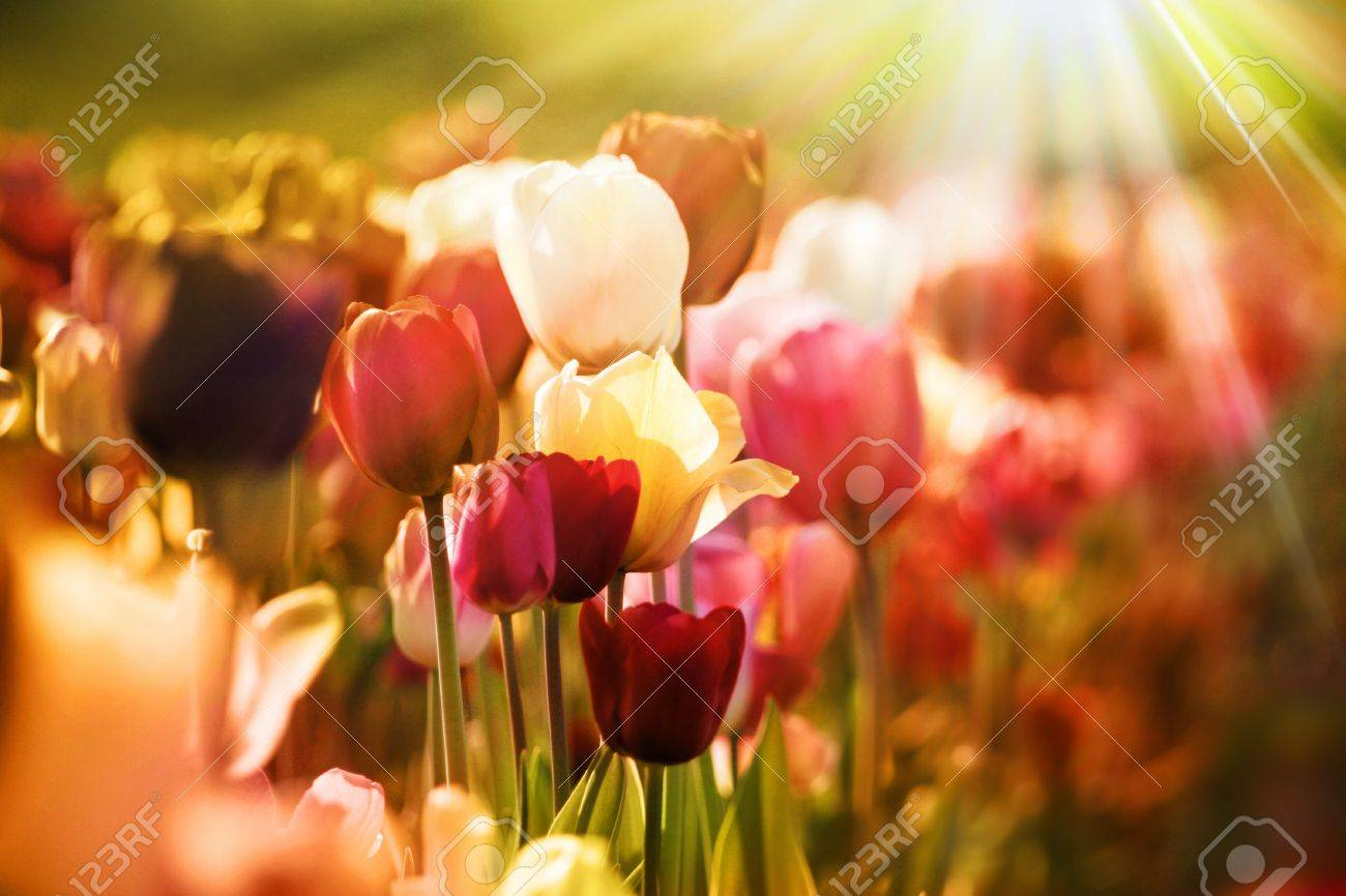 fresh colorful tulips in warm sunlight - retro vintage style Stock Photo - 10899279