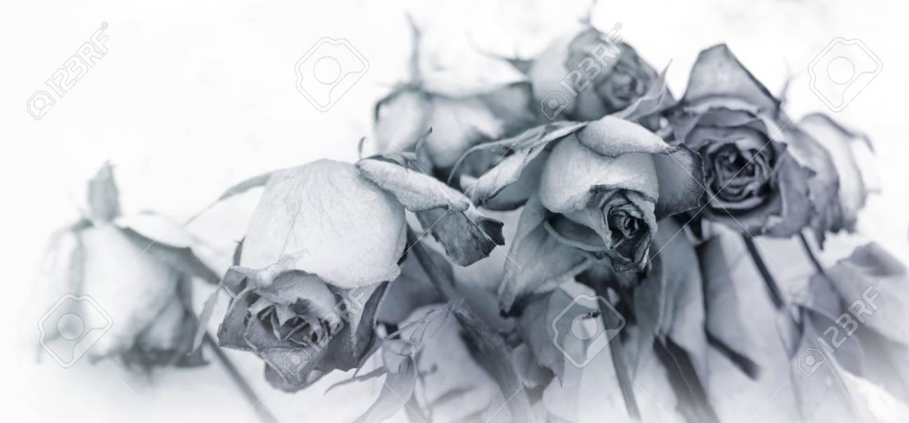 Roses Fanees Et Teintees Sur Fond Blanc Motif De Deuil De Fleur