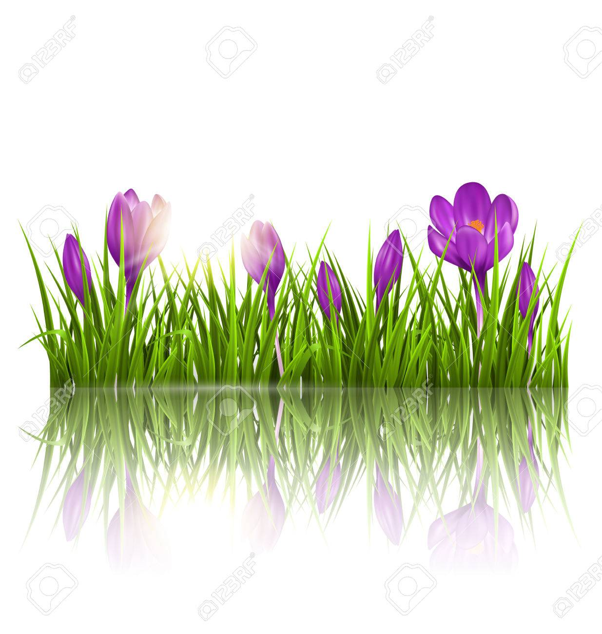 Green grass lawn, violet crocuses and sunrise with reflection on white. Floral nature spring background - 37483649