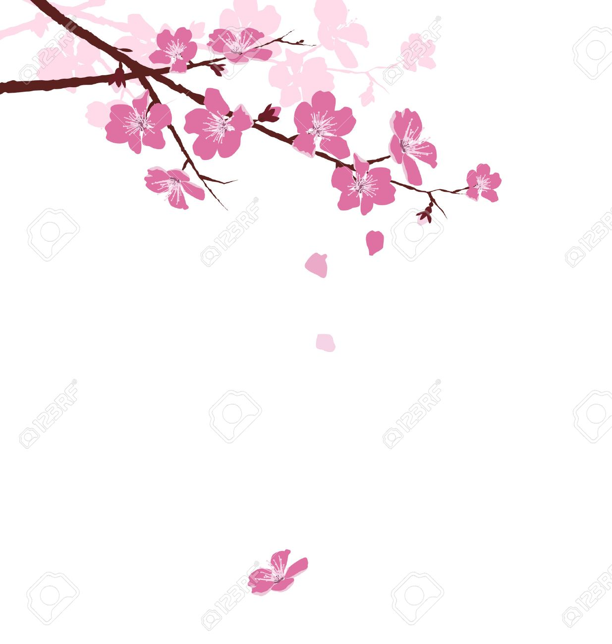 Cherry branch with flowers isolated on white background - 37832824