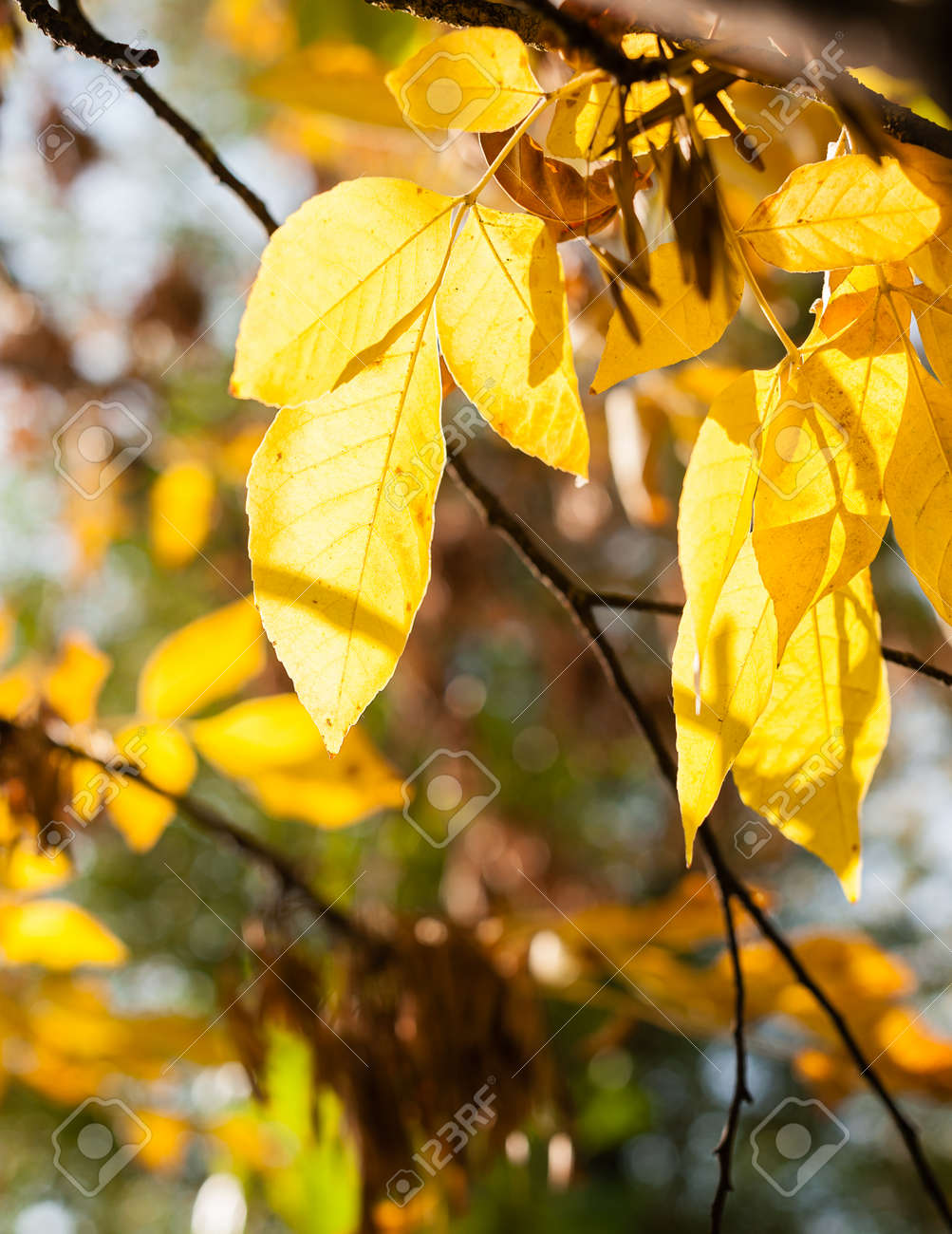 Leaves Of Acer Negundo Stock Photo Picture And Royalty Free Image