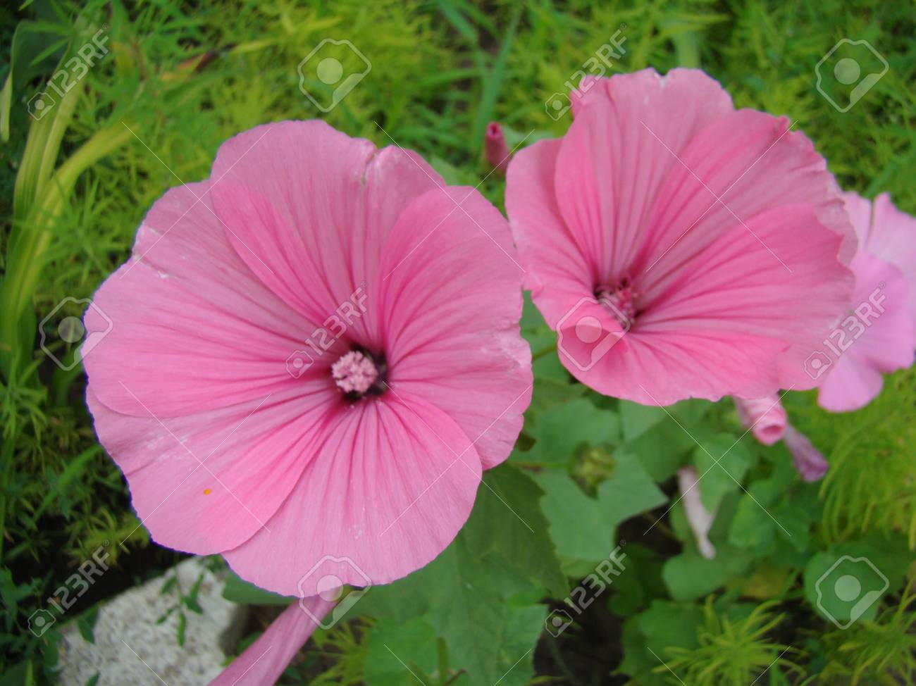Lavatera growing from seed 88